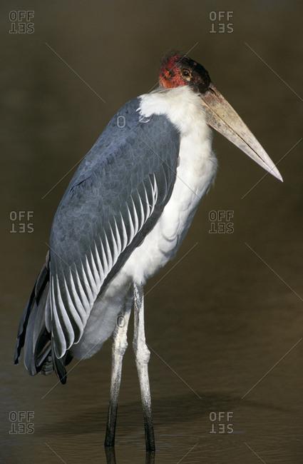 Marabou stork (Leptoptilos crumeniferus). Okavango, Moremi, Botswana