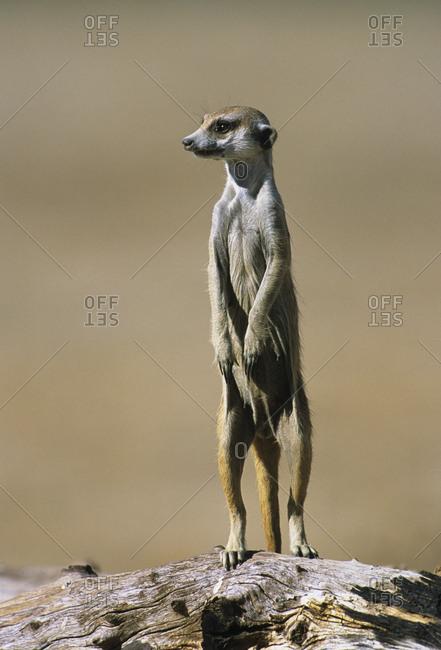 Suricate / Meerkat  (Suricata suricatta) standing on guard. Kgalagadi Transfrontier Park, South Africa