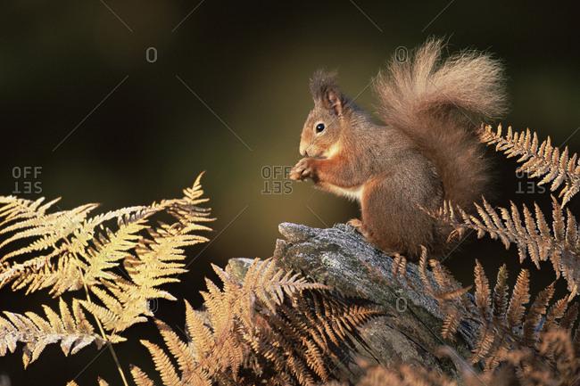 Red squirrel in autumn (Sciurus vulgaris). Strathspey, Scotland, UK