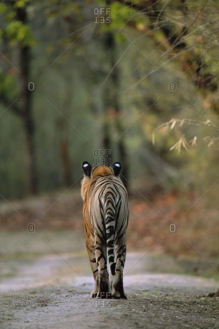 Rear view of male Bengal tiger (Panthera tigris tigris) walking on track. Bandhavgarh National Park, India. Endangered species