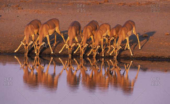 Black faced impala drinking (Aepyceros melampus petersi). Etosha National Park, Namibia