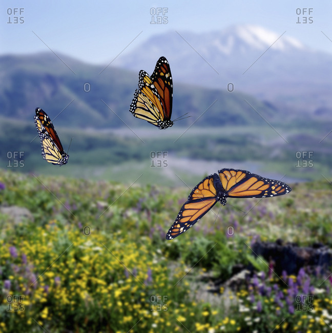 Monarch butterflies (Danaus plexippus) migrating Digital composite, captive