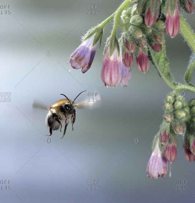 Common carder bee (Bombus pascuorum) approaching comfrey flower. England