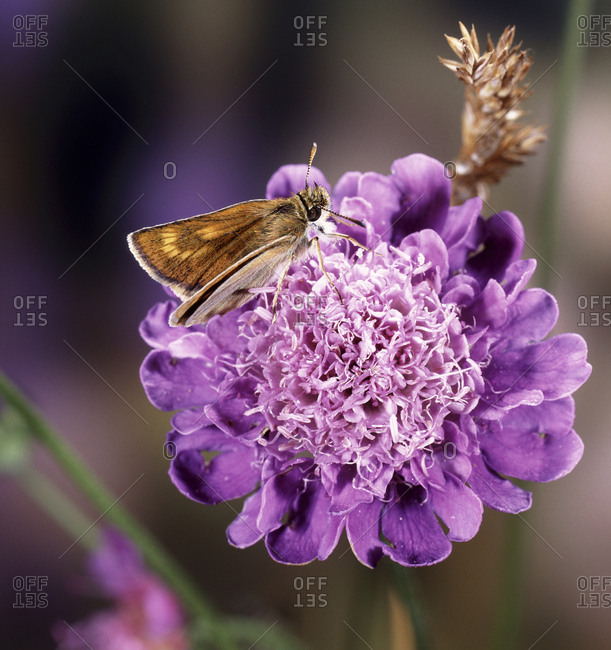 Lulworth Skipper butterfly (Thymelicus acteon) female on field scabious. England