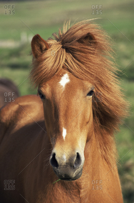 Icelandic pony portrait, Iceland.