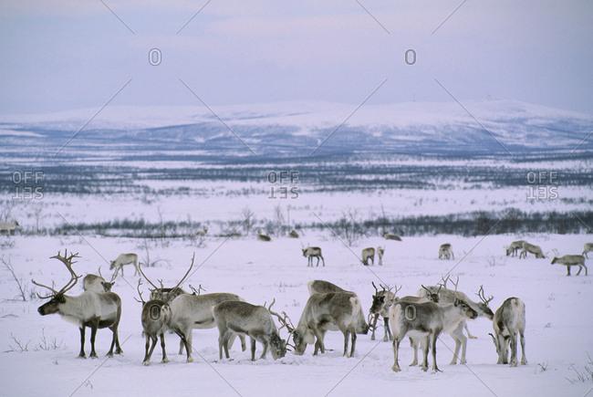 Reindeer herd (Rangifer tarandus). Finnmarksvidda, Lapland, Norway