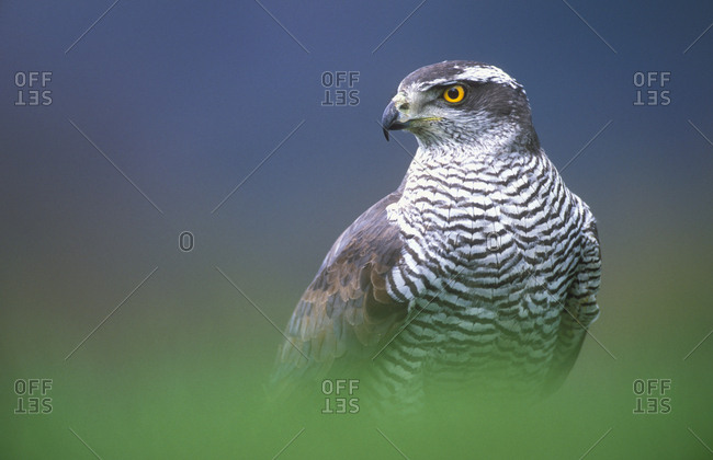 Northern Goshawk (Accipiter gentilis) male close-up, Scotland