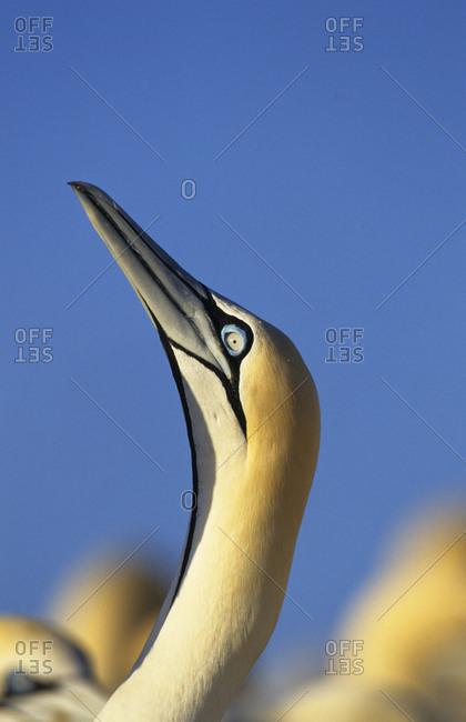 Cape gannet (Sula / Morus capensis) head. Lamberts bay, South Africa