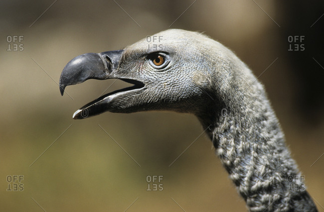 Cape vulture (Gyps coprotheres) head profile with open beak. De Wilt, South Africa
