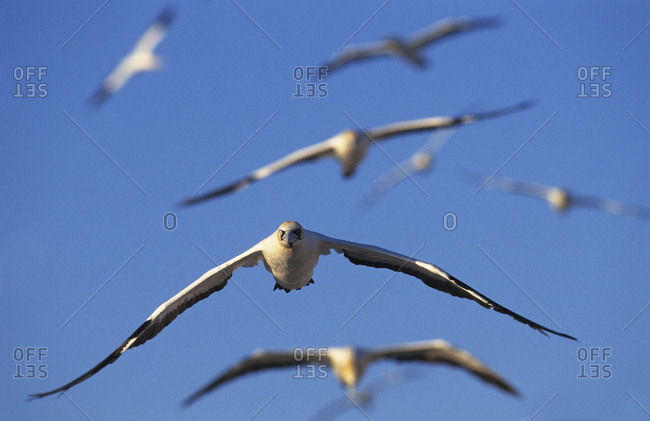 Cape gannets (Sula / Morus capensis) in flight. Lamberts bay, South Africa