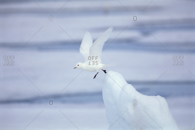 Ivory gull (Pagophila eburnea / alba) taking off from ice. Baffin Is, Canada