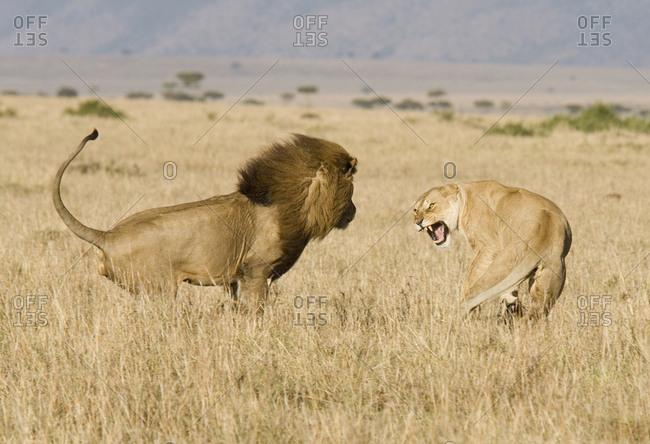 African lion (Panthera leo) approaching lioness to mate. Masai Mara, Kenya