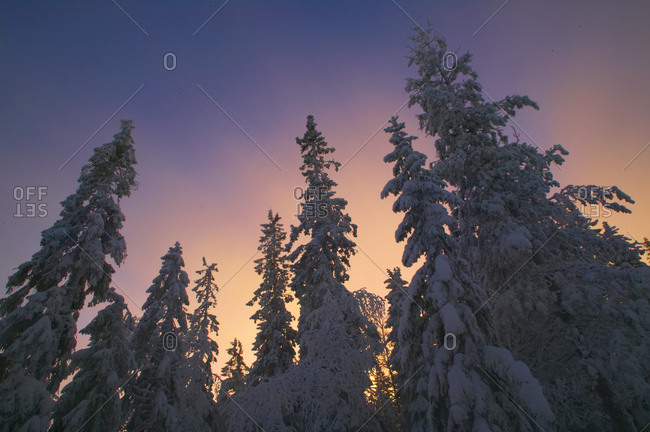 Late afternoon light in the sky above snow-laden boreal forest. Halsingland, Sweden, 2006