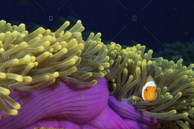 False clown fish (Amphiprion ocellaris) among tentacles of host sea anemone (Heteractis magnifica), Surin, Thailand