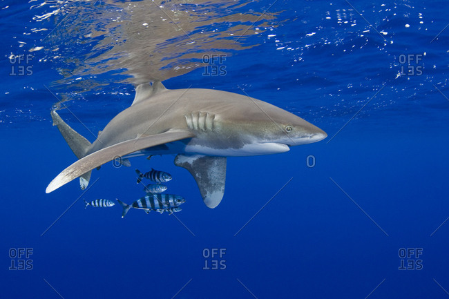 Oceanic whitetip shark (Carcharhinus longimanus) with pilot fish (Naucrates ductor). Kona Coast, Hawaii, Central Pacific Ocean