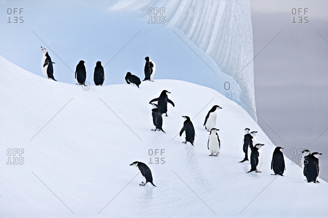 Group of Chinstrap Penguins (Pygoscelis antarctica) on ice. South Orkney Islands