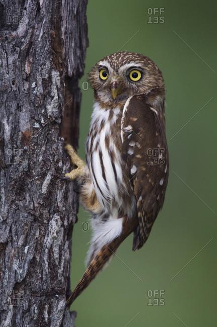 Ferruginous Pygmy Owl (Glaucidium brasilianum) adult at nest hole. Rio Grande Valley, Texas, USA. May