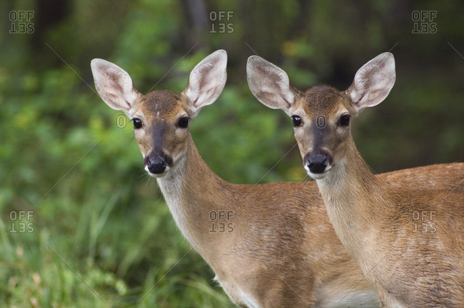 White-tailed Deer (Odocoileus virginianus) two young fawns. Texas, USA. June