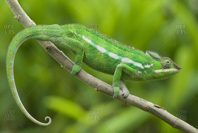 Panther chameleon (Furcifer pardalis) on branch, Madagascar, Africa