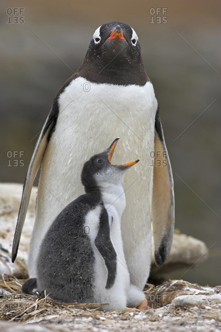Gentoo penguin (Pygoscelis papua) parent and chick, Falkland Islands.
