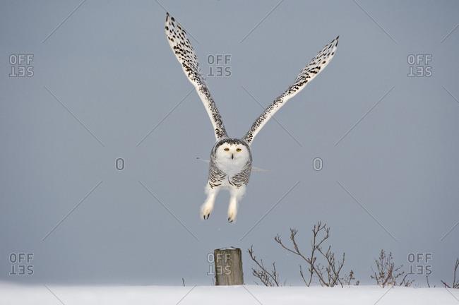 Snowy owl (Bubo scandiaca) taking off from post, Canada