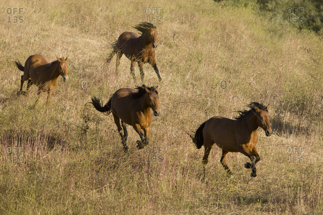 Mustangs run at Return to Freedom Sanctuary, Lompoc, California, USA