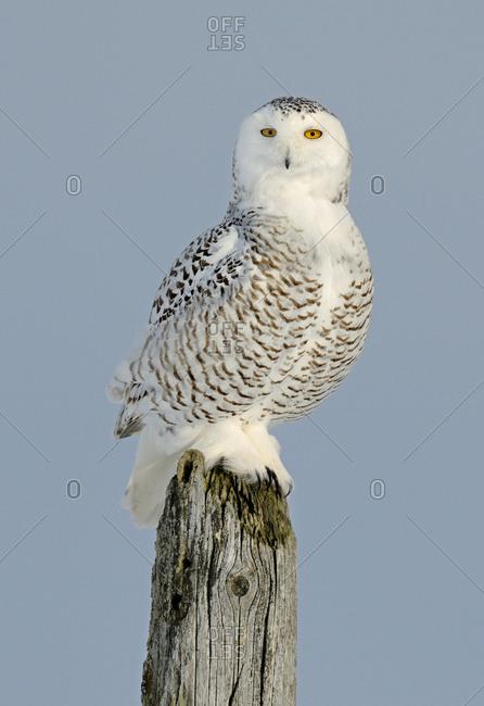 Snowy owl (Bubo scandiaca) perched on post, Canada