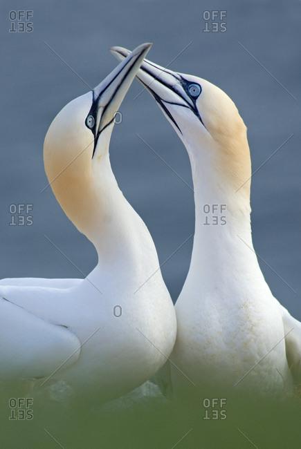 Northern gannet (Morus bassanus) pair, Heligoland, Germany. April