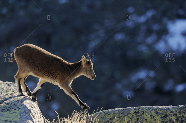 Female Spanish ibex (Capra pyrenaica) crossing rocks, Sierra de Gredos, Spain. November