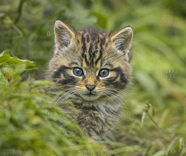 Scottish wild cat (Felis sylvestris) kitten outside den, captive, UK