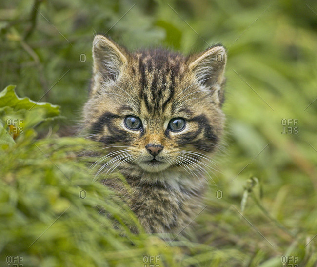 Scottish wild cat (Felis sylvestris) kitten outside den, captive, UK