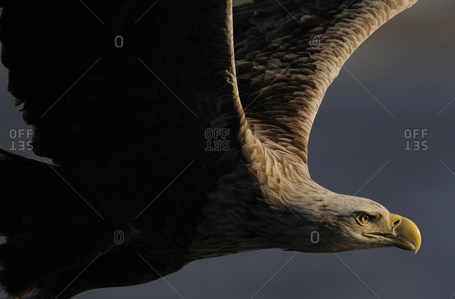 White tailed sea eagle (Haliaeetus albicilla) in flight, Flatanger, Norway, June