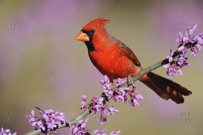 Northern Cardinal (Cardinalis cardinalis) male perched on branch of flowering Eastern Redbud (Cercis canadensis). Dinero, Lake Corpus Christi, South Texas, USA