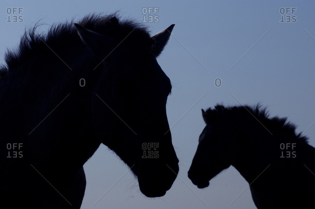 Silhouettes of two Konik wild horses (Equus ferus caballus). The Netherlands. July