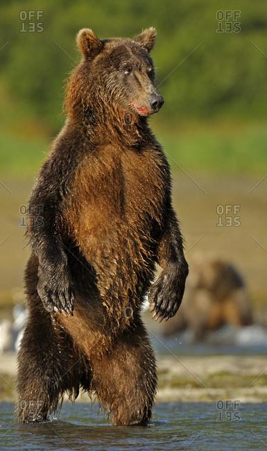 Grizzly Bear (Ursus arctos horribilis) standing on hind legs hunting for salmon. Katmai, Alaska, USA, August