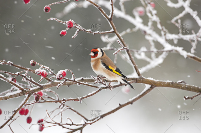 Goldfinch (Carduelis carduelis) perched among rosehips in snow, UK