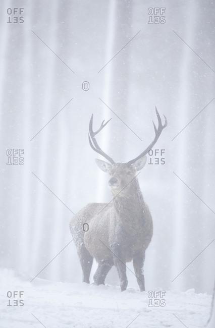 Red deer (Cervus elaphus) stag in pine forest in snow blizzard. Alvie Estate, Cairngorms NP, Highlands, Scotland, UK, March