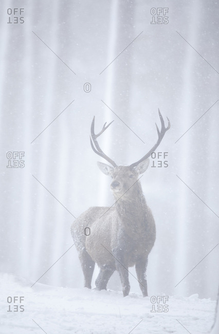 Red deer (Cervus elaphus) stag in pine forest in snow blizzard. Alvie Estate, Cairngorms NP, Highlands, Scotland, UK, March