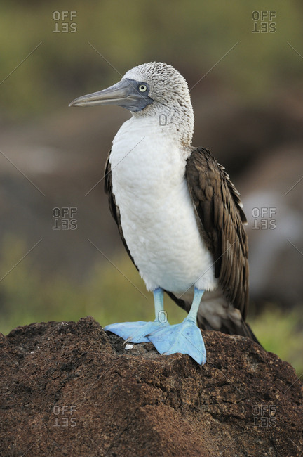 Blue Footed Booby (Sula nebouxii) perched on rock. Post Office Bay, Champion Island, Galapagos, Ecuador. April