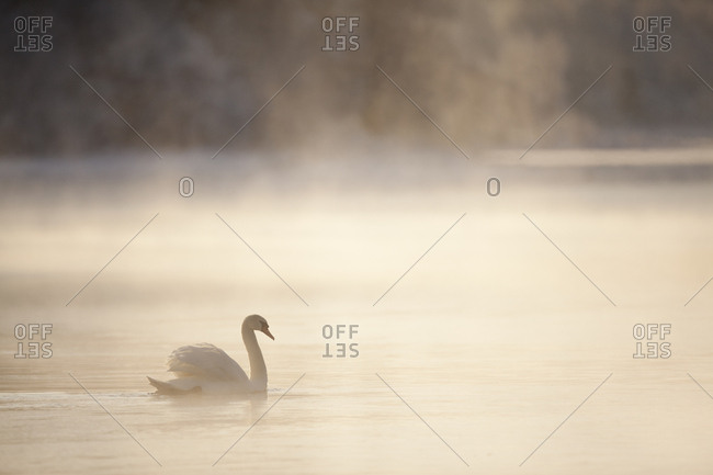 Mute swan (Cygnus olor) on water in winter dawn mist. Loch Insh, Cairngorms National Park, Highlands, Scotland UK, December