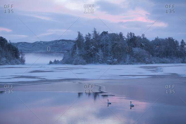 Mute swan (Cygnus olor) pair on water at sunset. Loch Insh, Cairngorms National Park, Highlands, Scotland UK, December