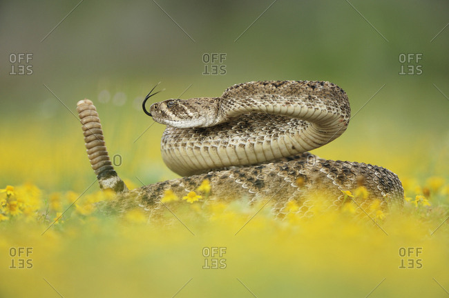 Western Diamondback Rattlesnake (Crotalus atrox), adult in striking pose with rattle raised, in wildflowers. Laredo, Webb County, South Texas, USA. April