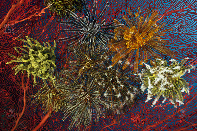 Gorgonian fan coral with Featherstars / crinoids attached, West New Britain, Papua New Guinea