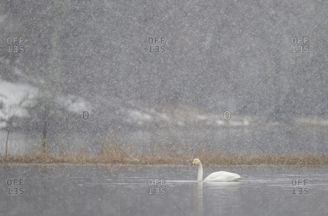 Whooper swan (Cygnus cygnus) on water during snow storm. Loch Insh, Cairngorms NP, Highlands, Scotland, UK. March 2011