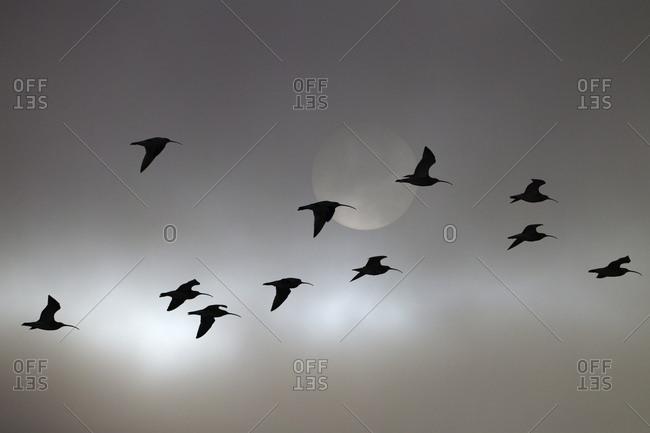 Curlews (Numenius arquata) flock in evening flight, UK. March