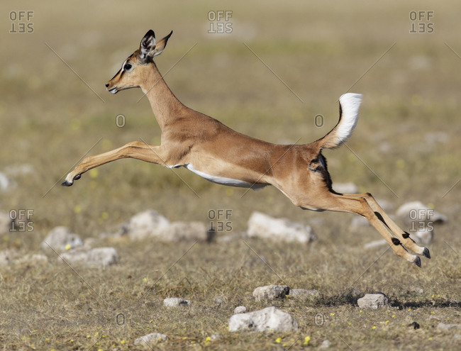 Black faced Impala (Aepyceros melamis petersi) female jumping, Etosha National Park, Namibia