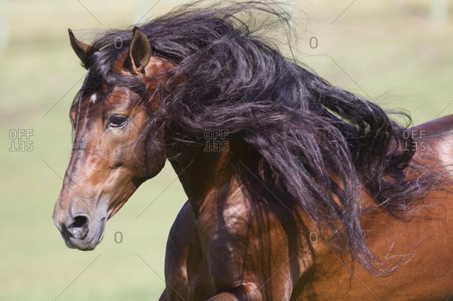 Bay Andalusian stallion running. Ojai, California, USA