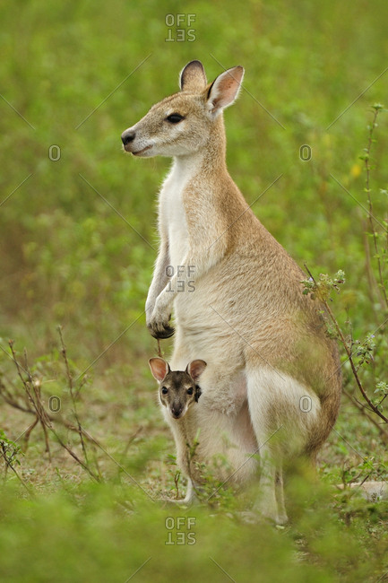 Agile wallaby (Macropus agilis) female with joey in pouch. Bumarru Plains, Northern Territories, Australia