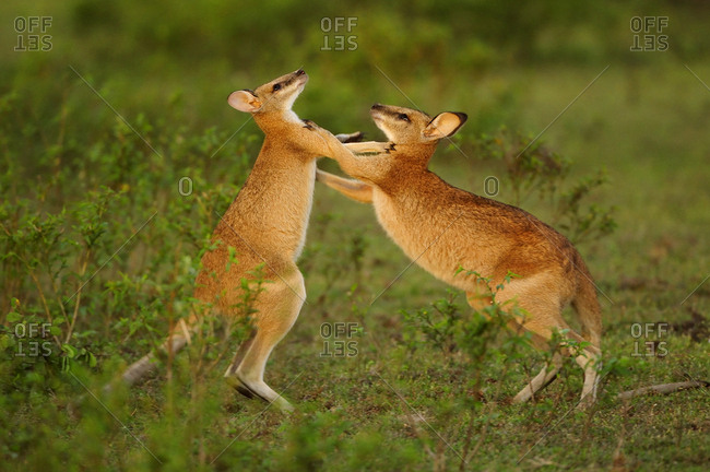 Agile wallabies (Macropus agilis) sparring and fighting. Bumarru Plains, Northern Territories, Australia