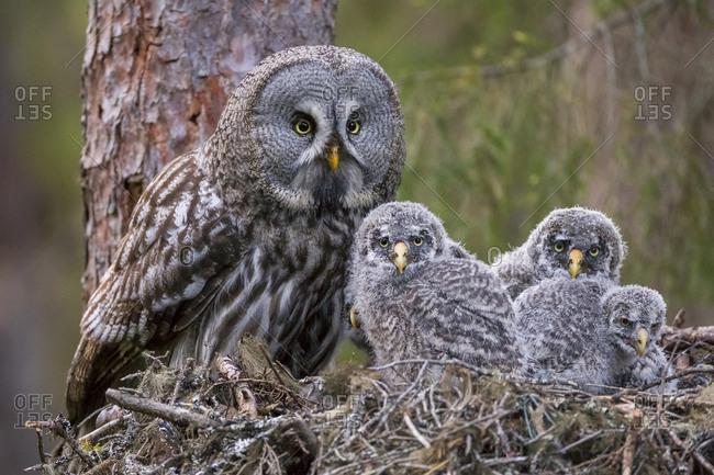Great Grey Owl (Strix nebulosa) adult and chicks on nest. Nest 'frame' is manmade. Ostersund, Sweden. June.